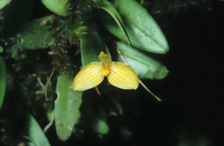 bulbophyllum-ovalifolium-gross-large.jpg