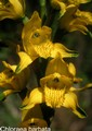 Chloraea barbata